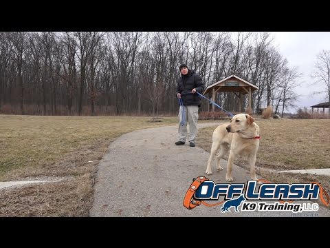 Dog Training: 1 Year Old Labrador Retriever, Chester! Before/After 2 Week Board and Train!