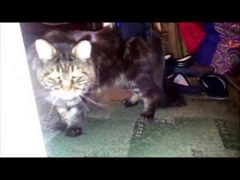 Кот Миша тренируется в ходунках Animal Mobile