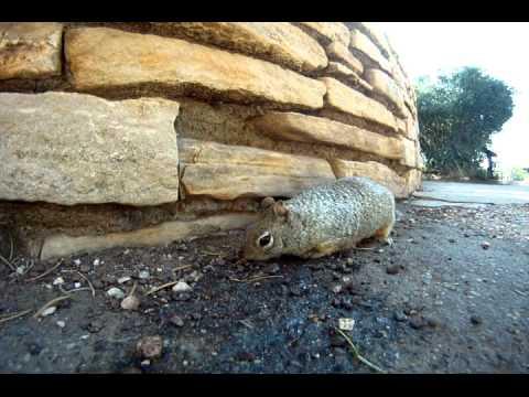 Grand Canyon Rock Squirrels.avi