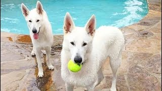 All You Need To Know About White German Shepherds.