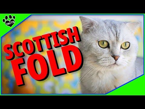 Cats 101: Scottish Folds-  Fum Facts About Domestic Scottish Folds - Animal Facts