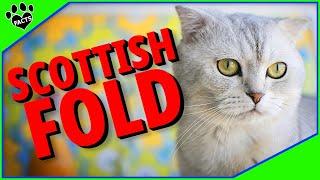Scottish Fold Cats 101   10 Fum Facts About Domestic Scottish Folds