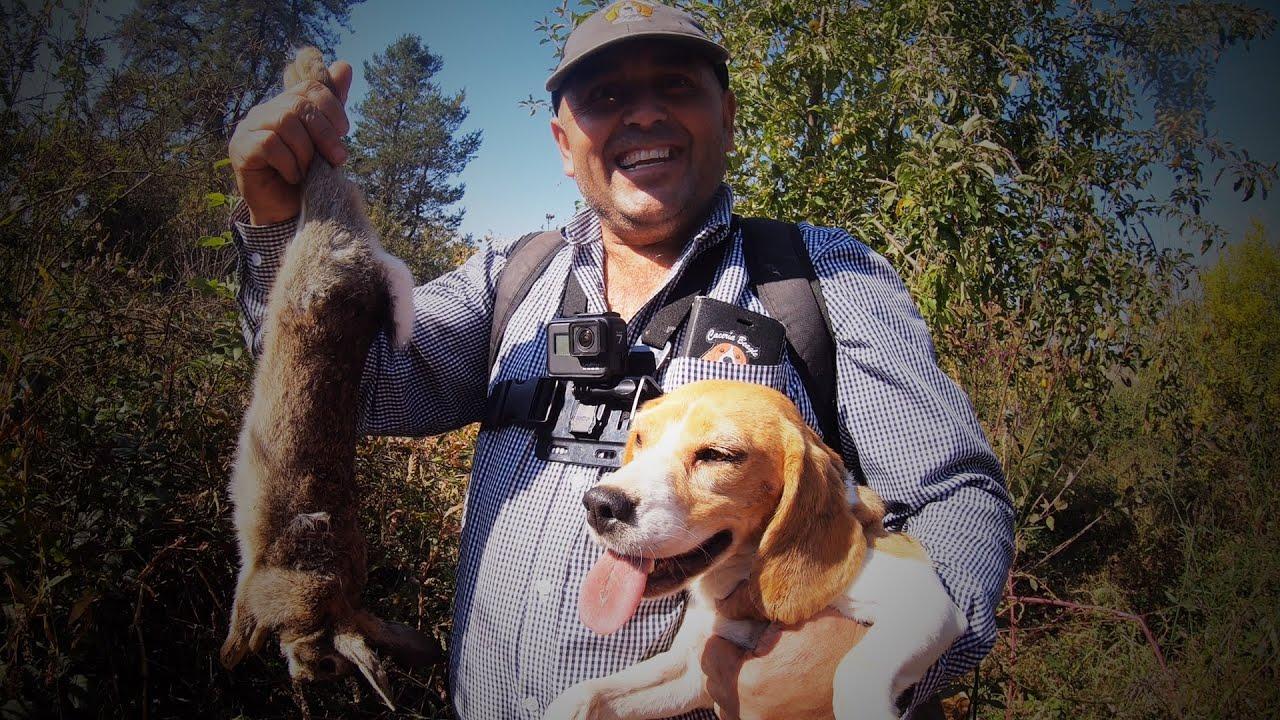 Cazando Conejos con los Beagles! Recordando Viejos Tiempos