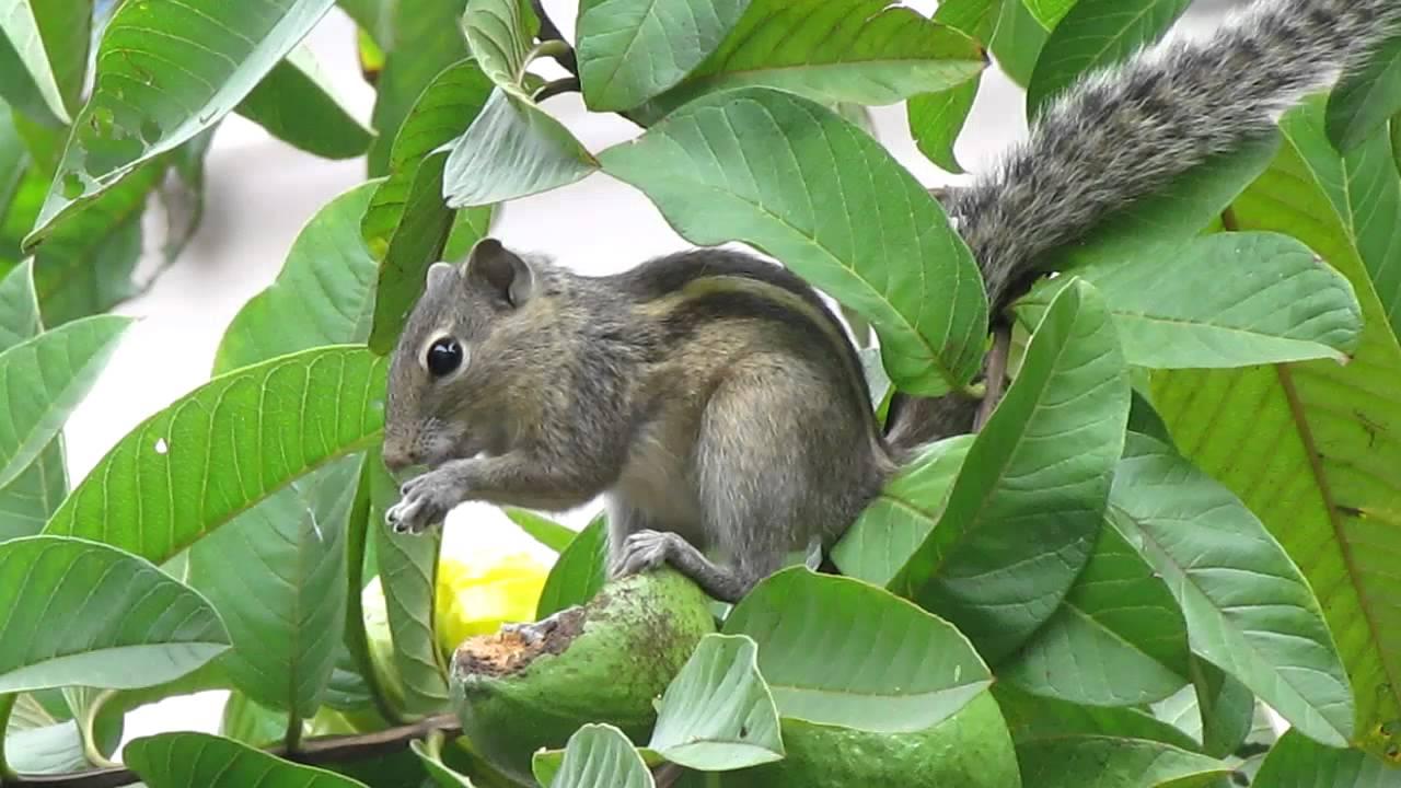Squirrel Eating Guava