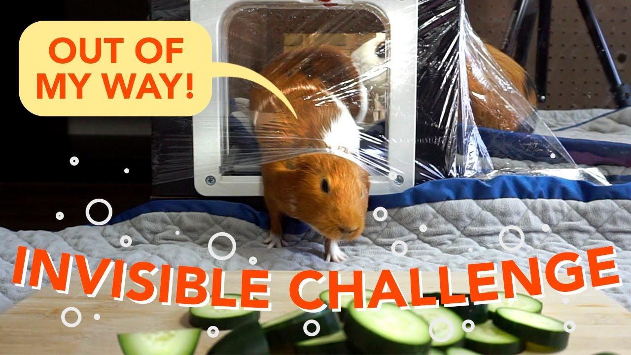 My Guinea Pigs React To The Invisible Challenge Guineadad Youtube