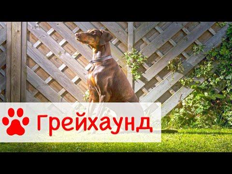 Грейхаунд | Самая быстра собака в мире