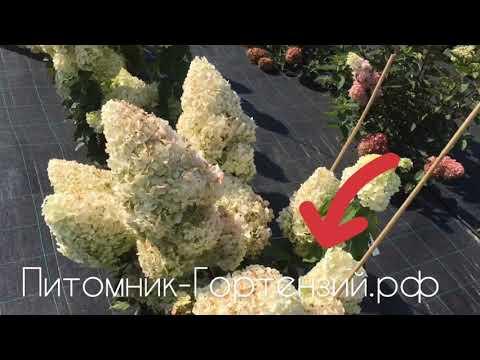 """Гортензия метельчатая Полярный Медведь """"Polar Bear"""""""