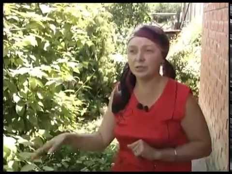 Красная смородина, купить саженцы красной смородины, сорта