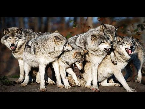 National Geographic Inside A Wolf Pack  -  Best DocumentarY              2017