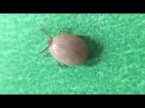 Tick Flicks - Deer Tick