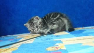 Шотландские котята Киев