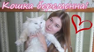Новости нашего питомника ноябрь 2017/ кошка беременна! / мы в телевизоре