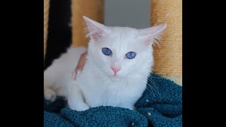 Siamese Balinese hypoallergenic cat: One of The Smartest of All Feline Breeds