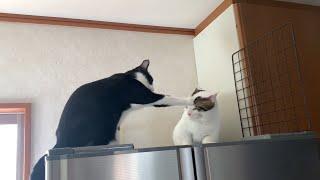 母猫に怒られて手が届かない猫がかわいい