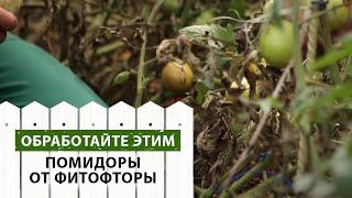Внезапная вспышка фитофторы на помидорах.Методы борьбы