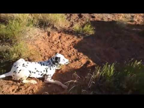 Dalmatian Meets Horses for the First Time