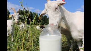 Сыр из козьего молока от Салавата Фатхутдинова