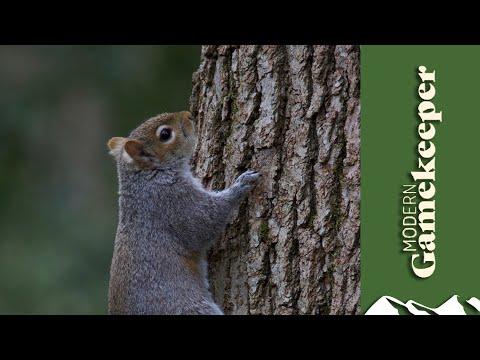 Grey Squirrel Shooting Tactics
