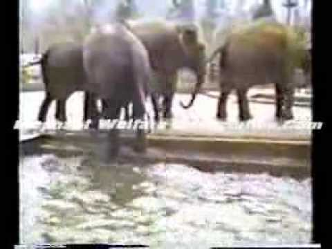 Electro-ejaculation&Artifical Insemination of the Asian Elephant - 3.