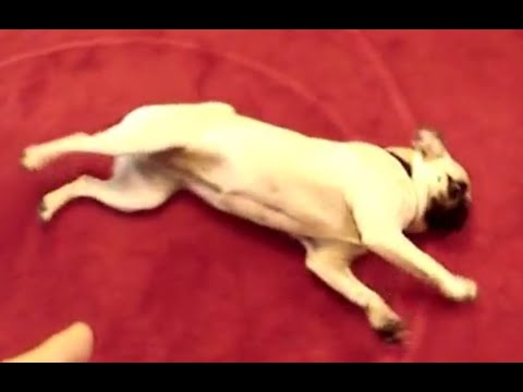 Smart Dog Knows How to Play Dead!