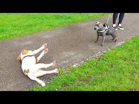 Dog Gets Too Excited And Passes Out