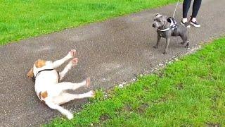 dog-gets-too-excited-and-passes-out