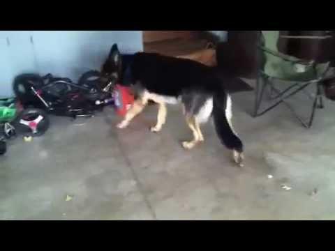 German Shepherd Grand Mal Seizures Dog Youtube