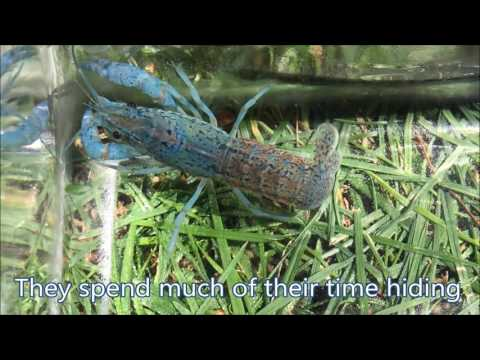 Marbled Crayfish: Self Cloning Mystery That Might End Hunger?