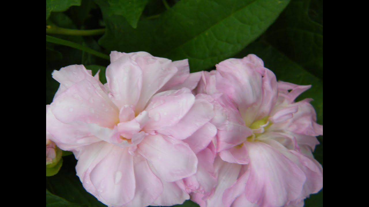 калистегия уход и выращивание фото