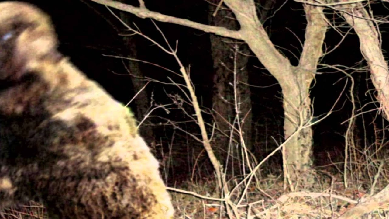 sheepsquatch of boone county