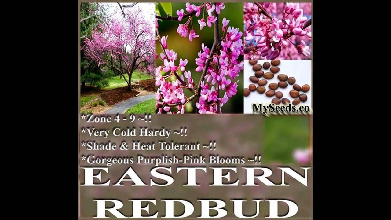 Eastern Redbud Tree Seeds Cercis Canadensis On Www Myseeds Co