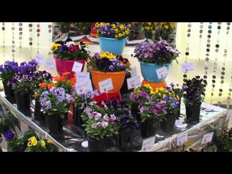 Benary Introduces Viola Cornuta Admire™ Series