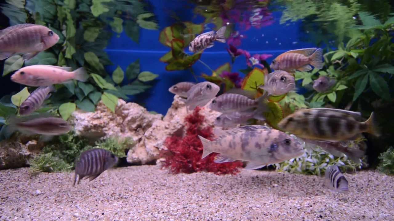 Freshwater fish tank youtube - Freshwater Fish Tank Youtube
