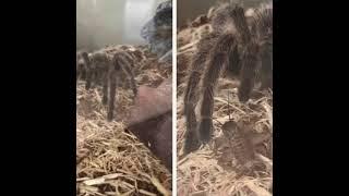 The Spider Mambo