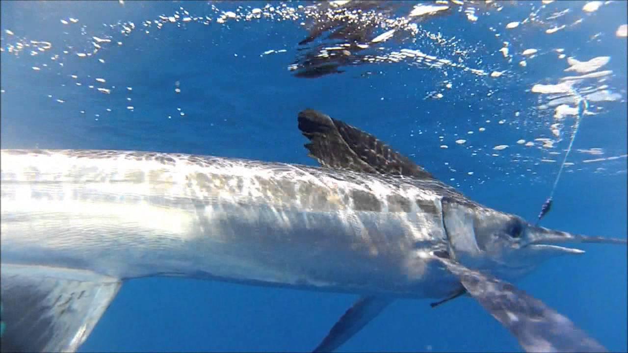 Friends n Cavalier - White Marlin under-water - YouTube