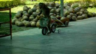 Monkey Rides Tricycle