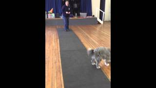 Kizzy Learning An Emergency Stop - Abbey Dog Training