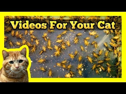 Videos for your Cat - Crickets