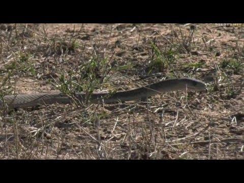 Safari Live : Dwarf Mongoose alarming to a Black Mamba Snake on drive this morning Nov 14, 2017