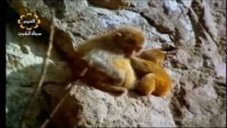 شاهد انثى القرد ماذا فعلت بولدها عندما حلق النسر فوقهم