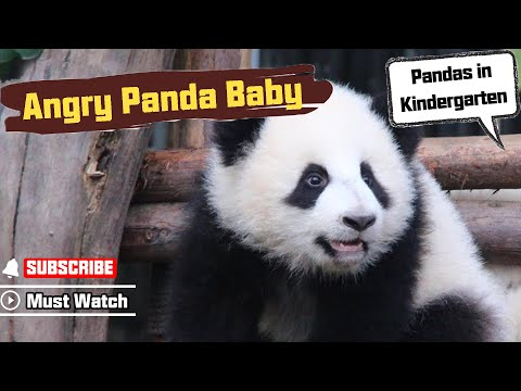Angry Panda Baby Video Went Viral Over The Internet