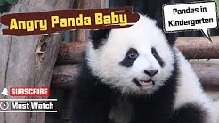 Angry Panda Baby Video Went Viral Over The Internet | iPanda
