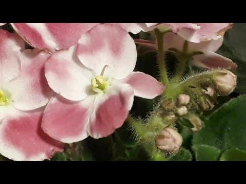 Почему вянут бутоны и цветы у Фиалки?