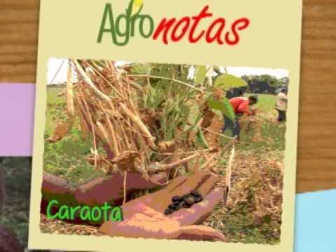 Agro Notas: CARAOTA