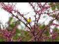 HD American Goldfinch Singing