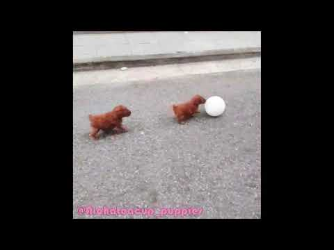 Teacup Toy Poodle Puppies For Sale Miniteddy Toy Poodle Puppy