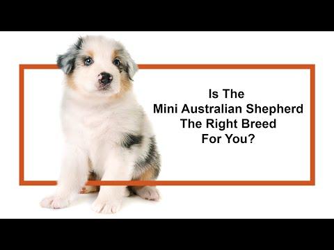 Everything Puppies - Miniature Australian Shepherd Info! (2019)