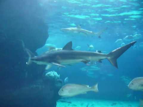 クロトガリザメ - YouTube