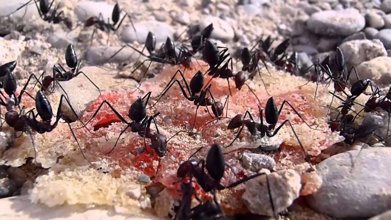 ants in afghanistan youtube