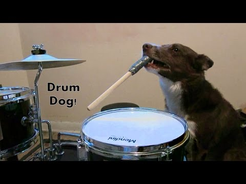 Dog Plays the Drums